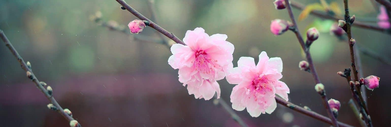 Cherry Blossom wallpaper Peach flowers (2)