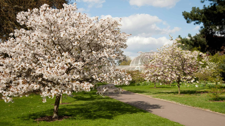 cherry blossom and plam house 2